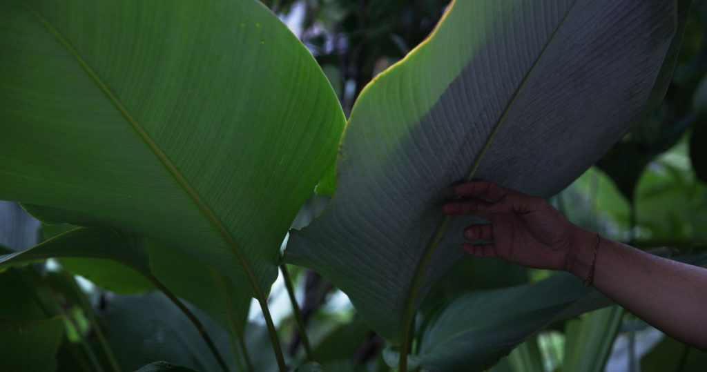 Chang turns a fern leaf to reveal its white waxy underside.
